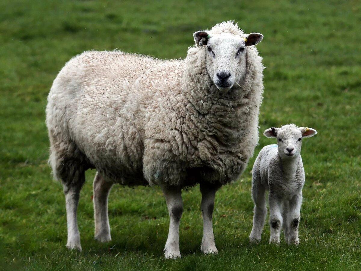 Картинки овечек фото, анимация днем