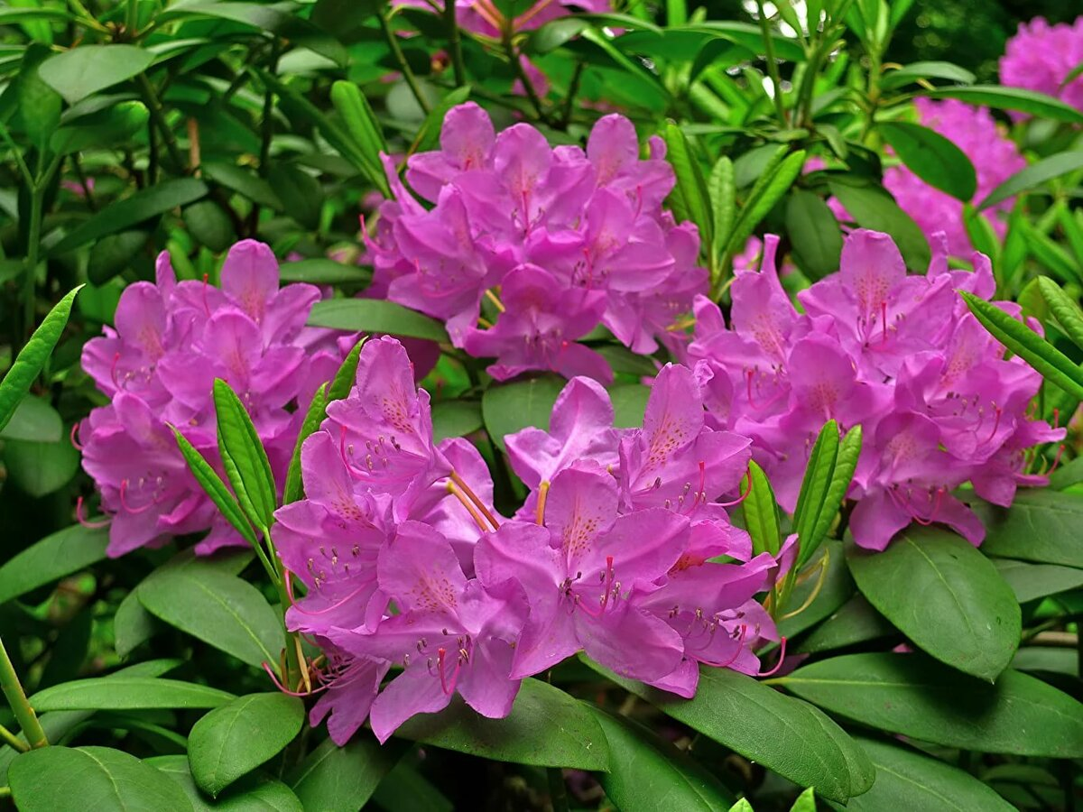 соломона вызывает рододендрон розовый картинки это время
