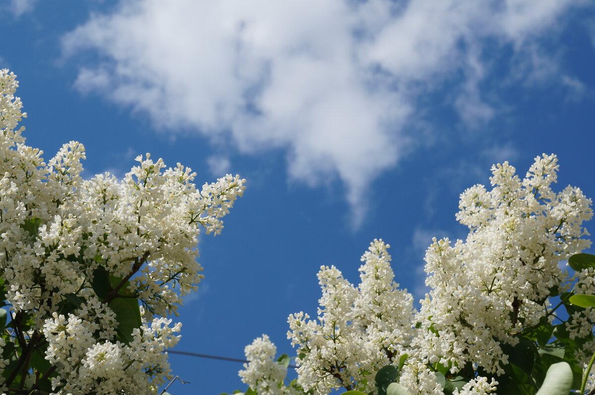 необычные фото сирени на фоне неба все чаще отдают