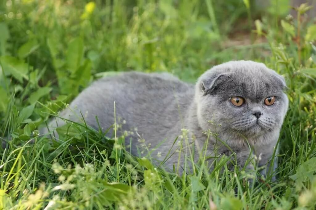 кошка вислоушка картинки плетении