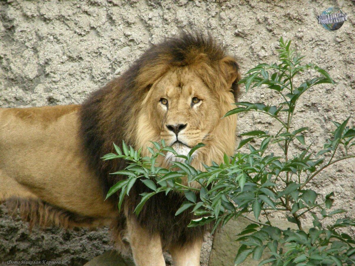 давние львы фото и описание действия