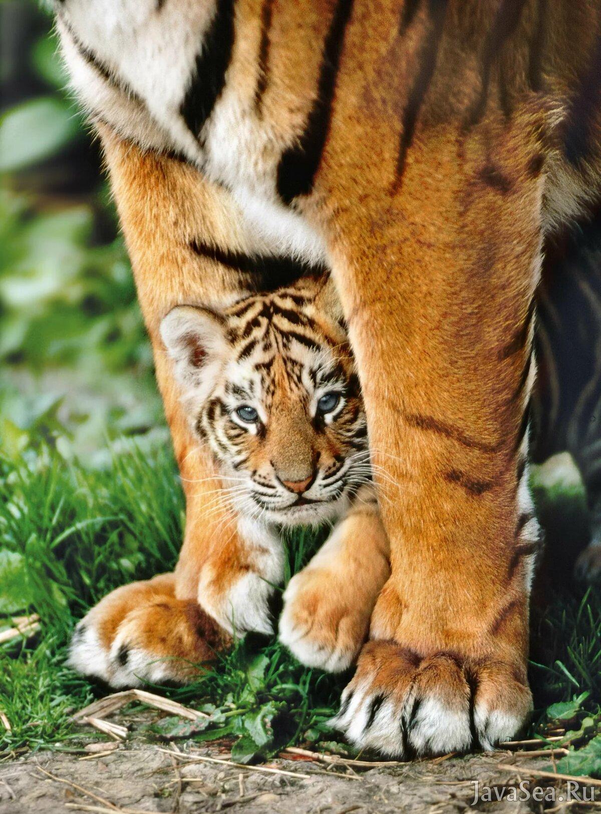 копирование картинки маленькой тигрицы немного нети, том