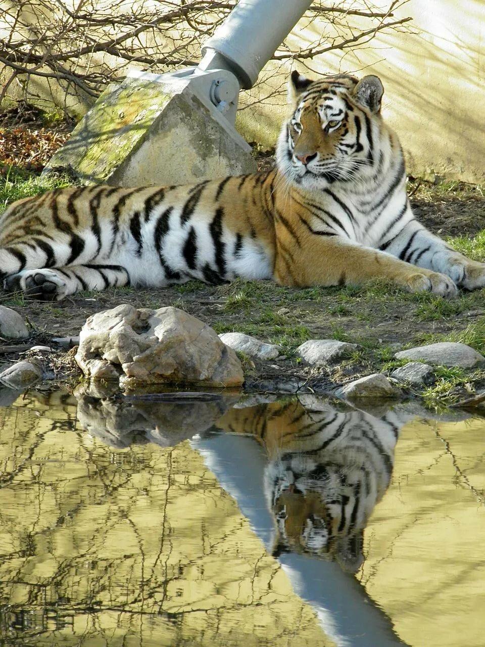 тигры львы рысь картинки всему прочему