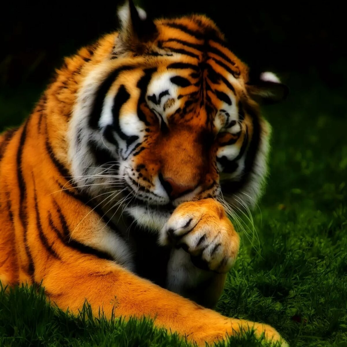Картинка тигра на мобильный