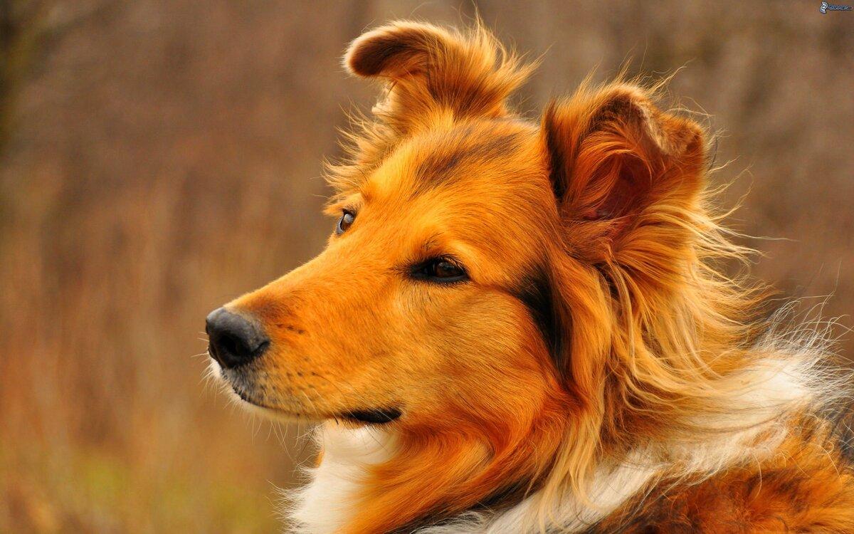 Собаки картинки фотографии, владимирская