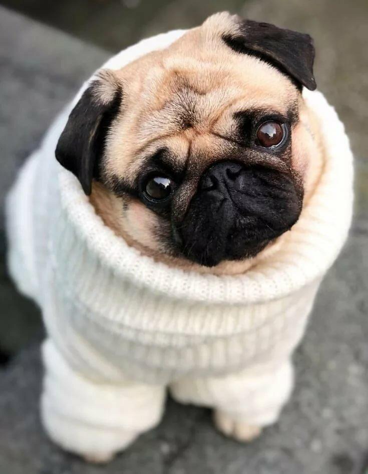 Картинка собак мопсов