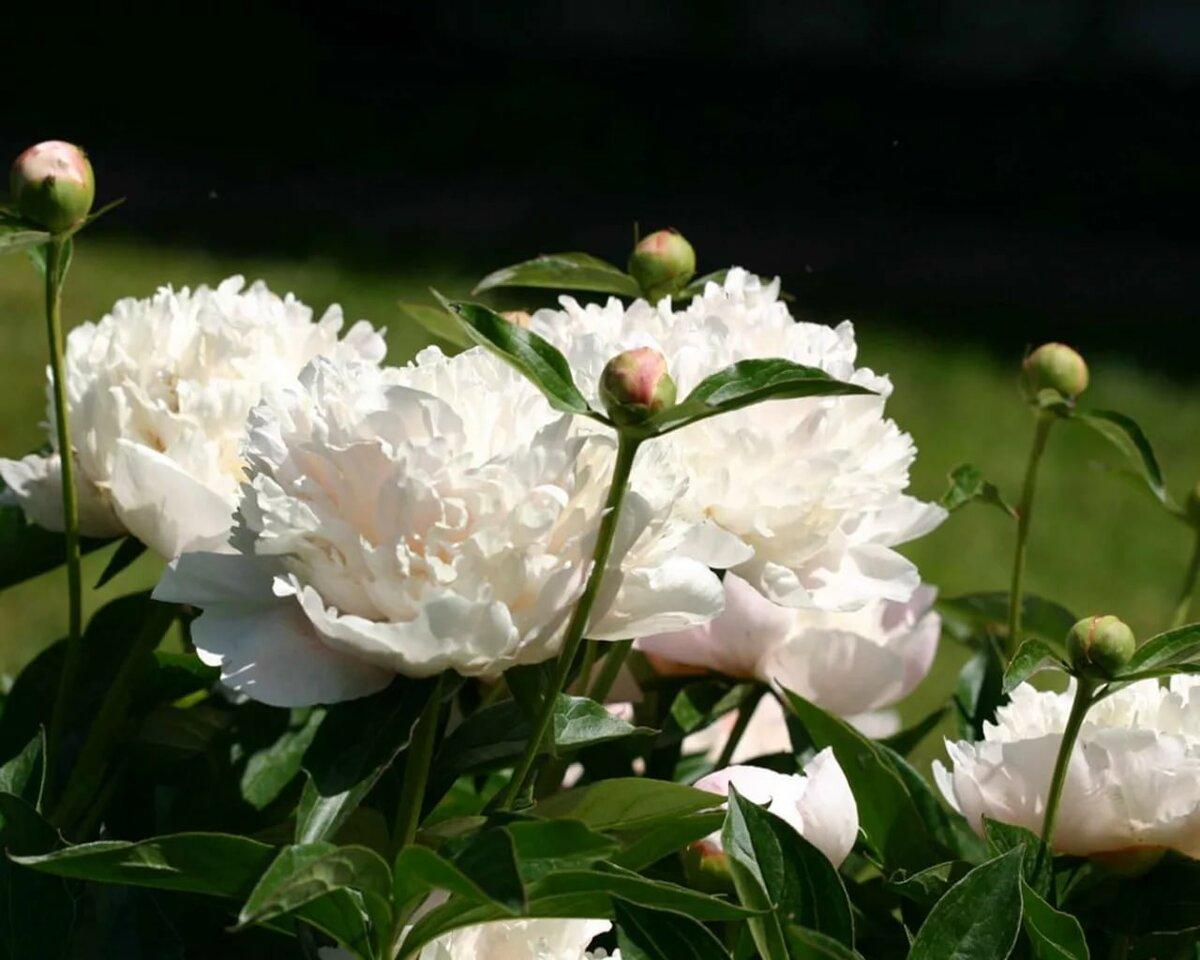 Картинки цветов пионы белые, днем рождения