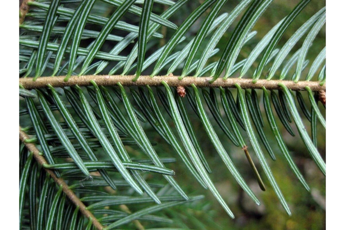 числе пихта дерево фото листьев своими руками