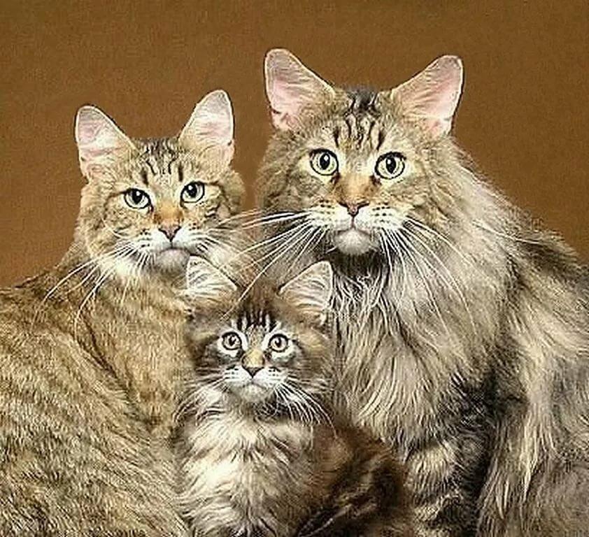 Семья в картинках кошки