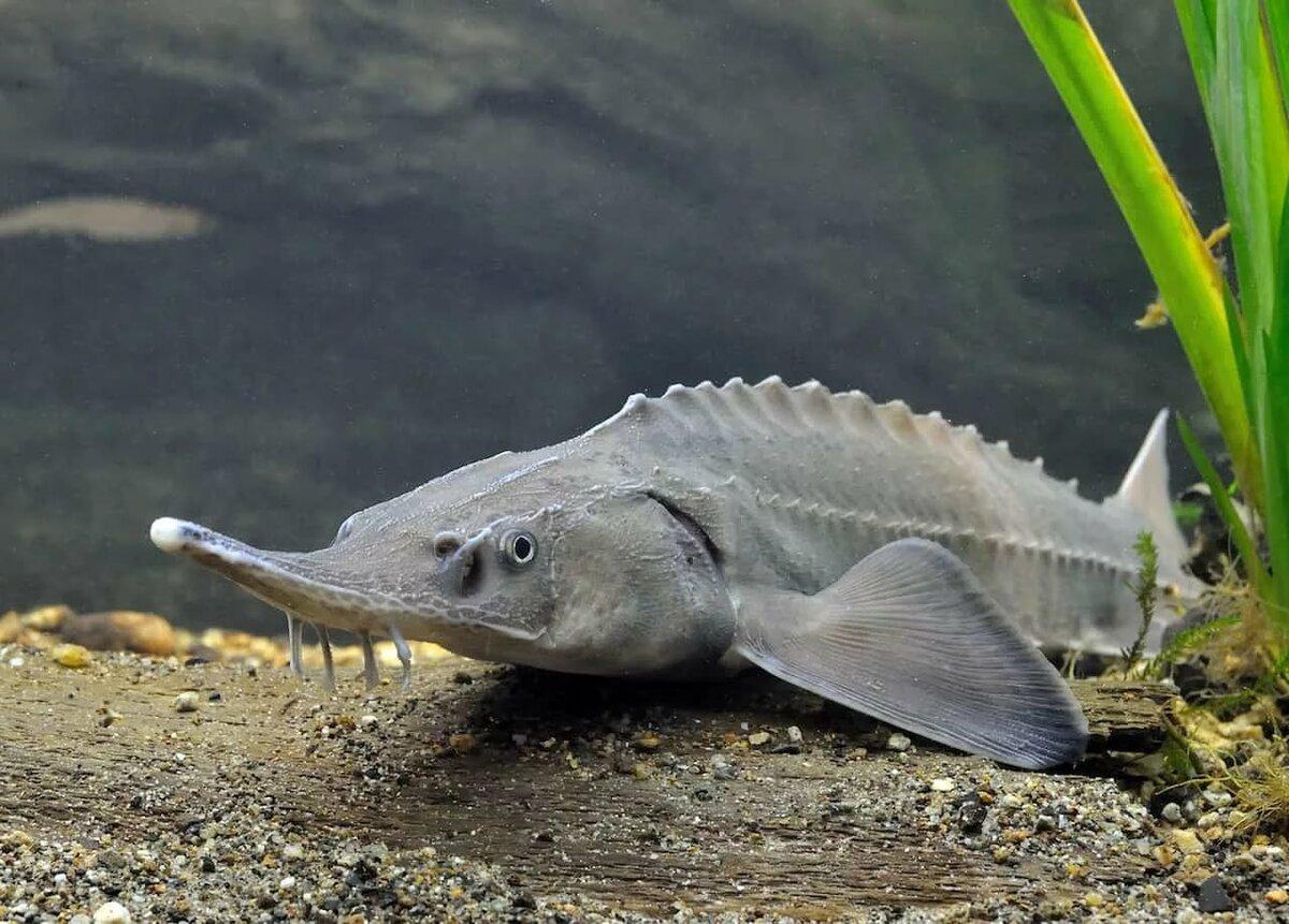 рыбы из семейства осетровых