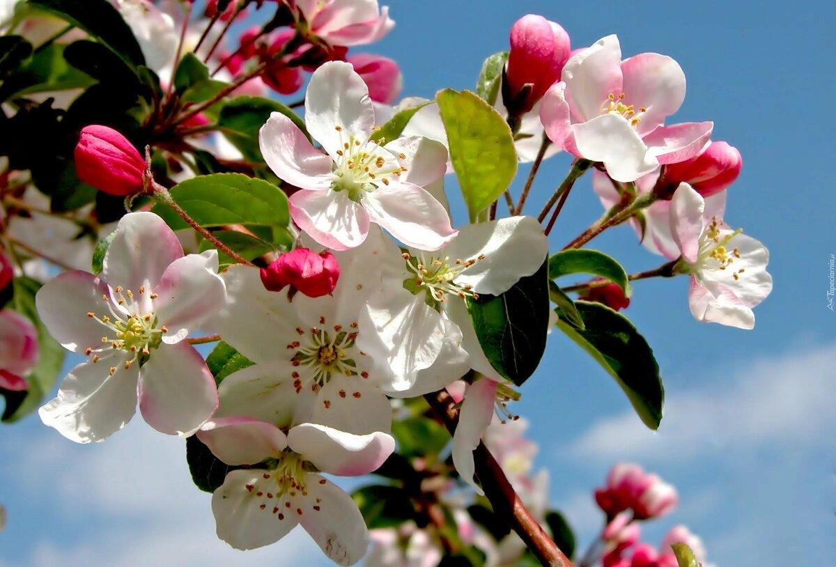 Открытка парню, цветущая яблоня картинки