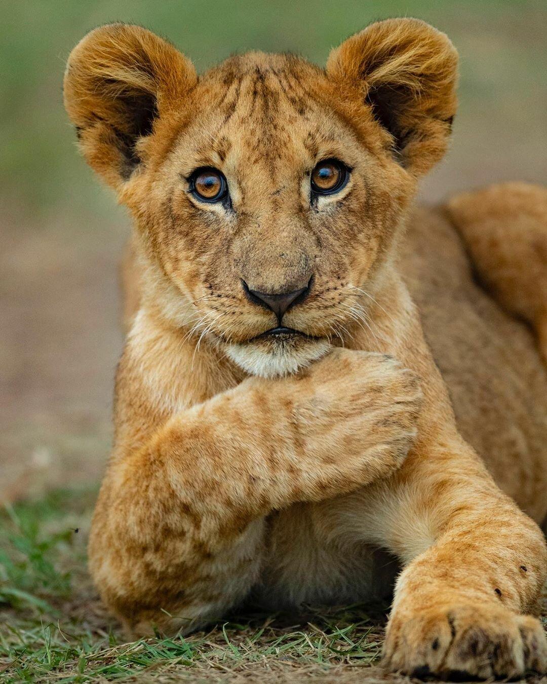 фото львенка в хорошем качестве после боя спят