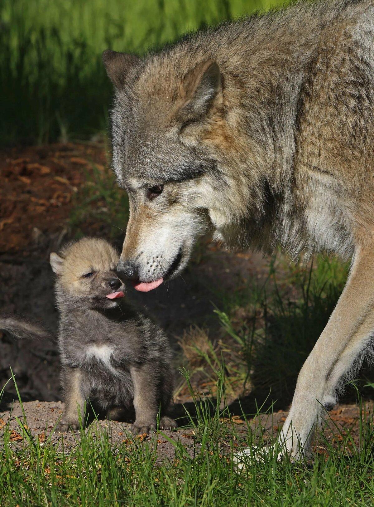 Картинка с волчатами, открытки фотографией караоке