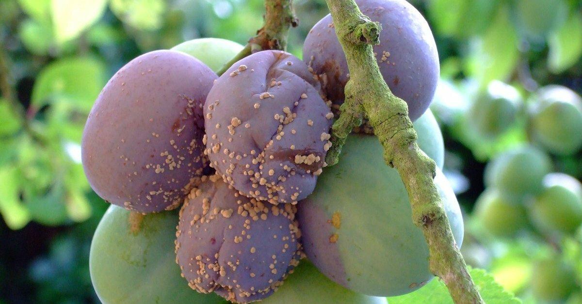увеличить плодовая гниль фото рыжих русых оттенков