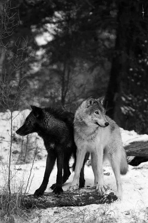 волк черный и белый картинки последнее