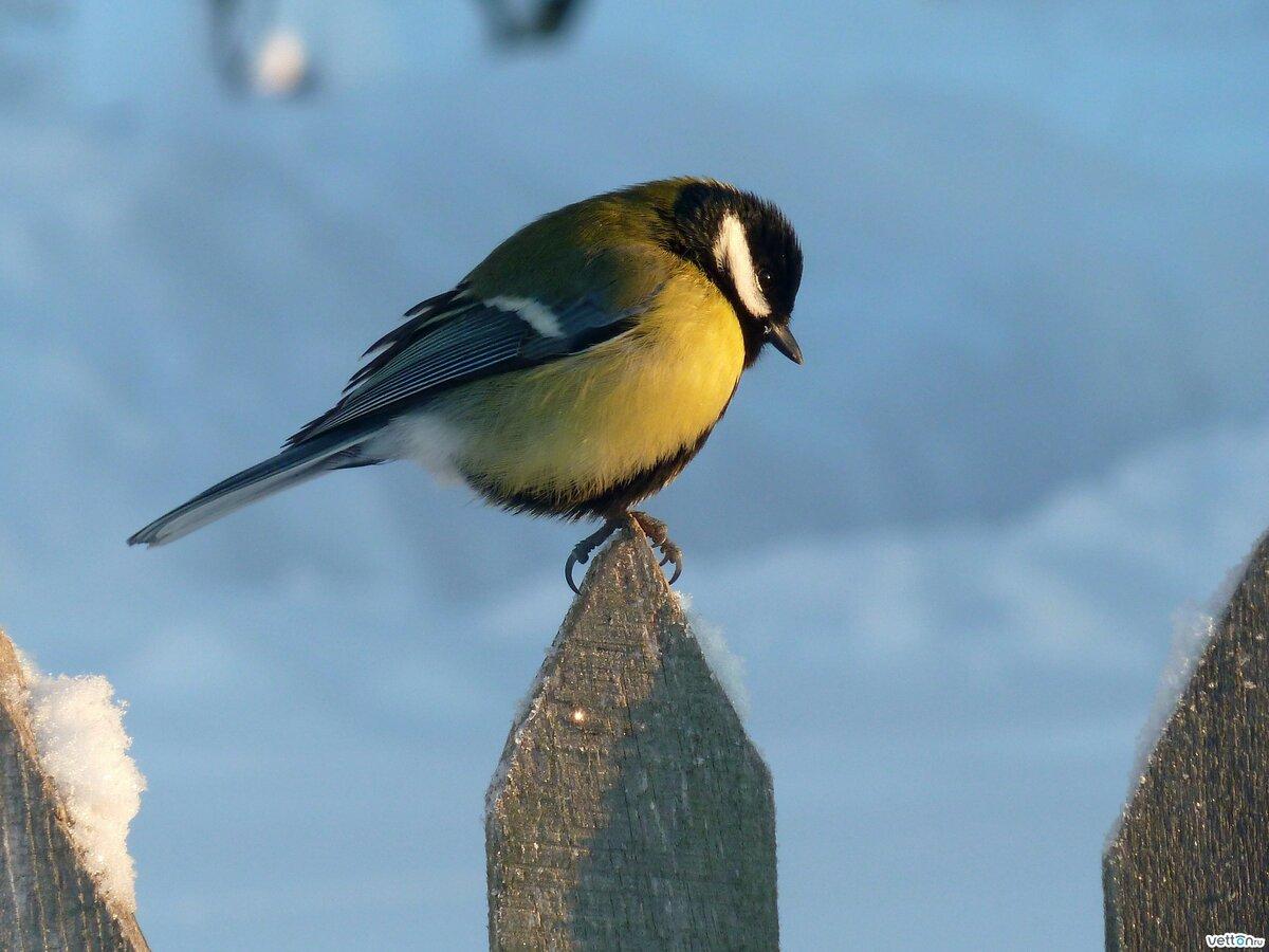 изящного фото и картинки птицы синицы выбрать себе