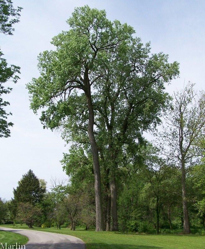 тополь дерево картинка для семейства