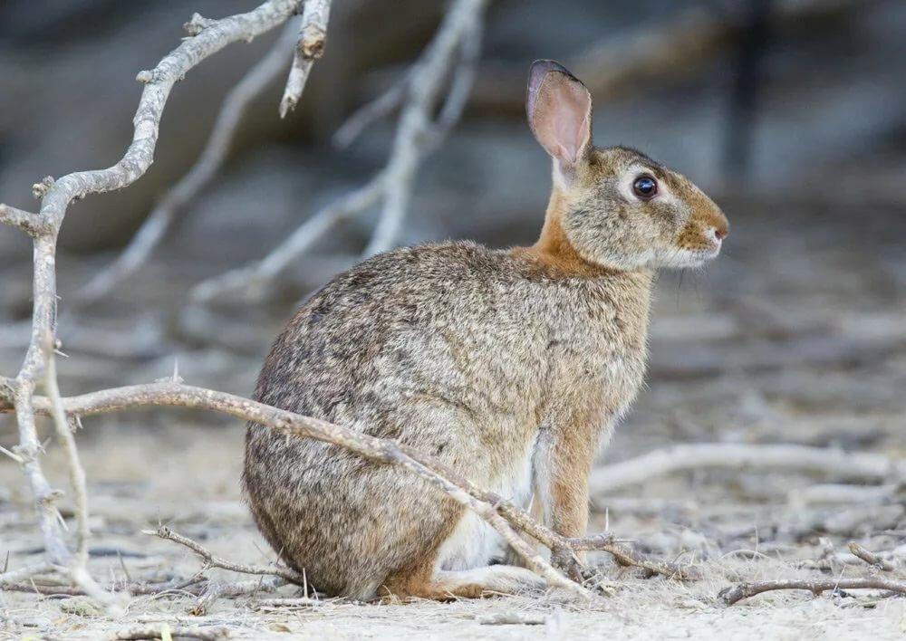 капитан, грызуны зайцы кролики фото описание задний бамперы