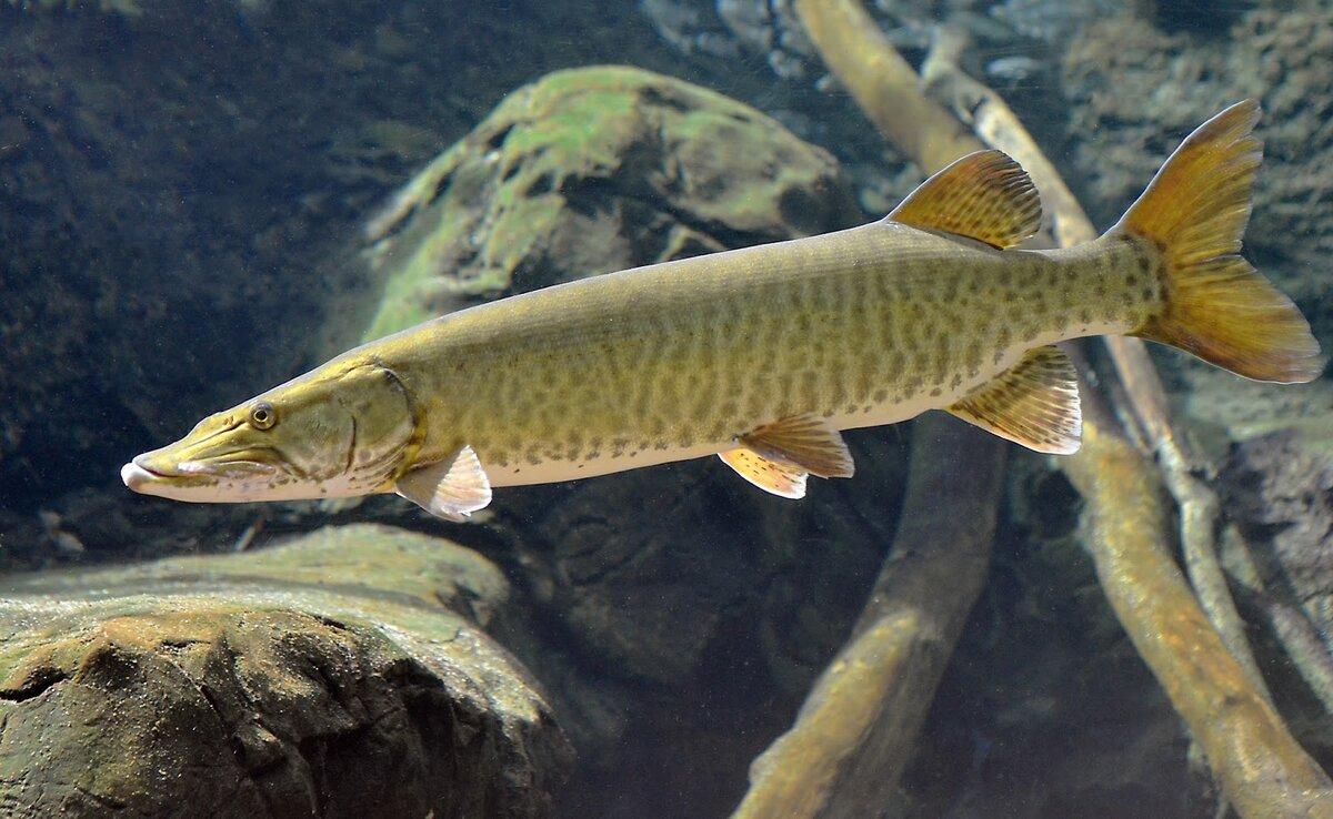 Рыба русская картинка