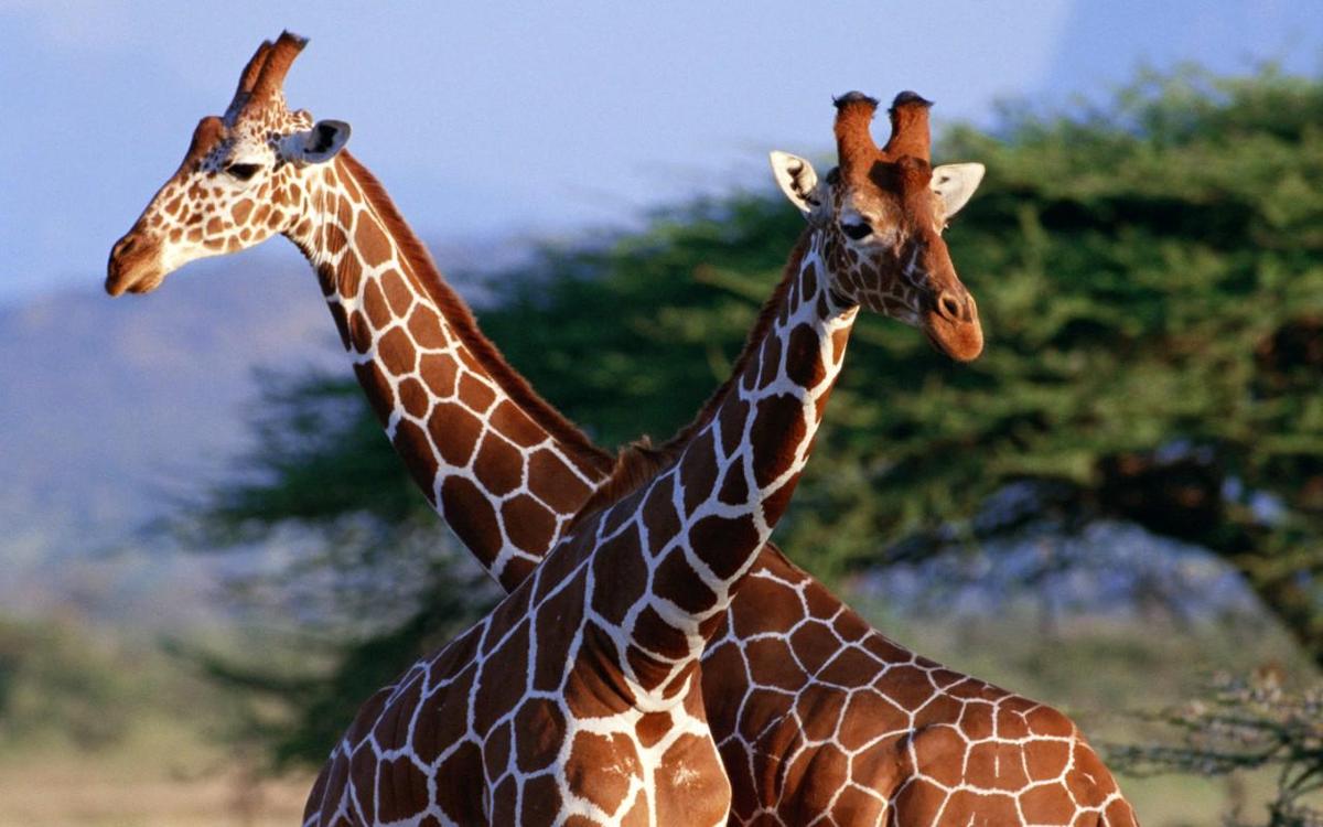 Картинка красивого жирафика