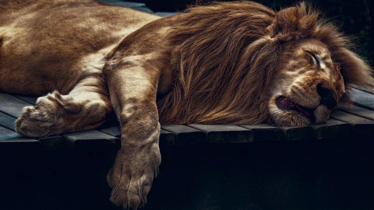 Сон, лев, блики, кошки, спит, лапа, лежанка, дикие кошки