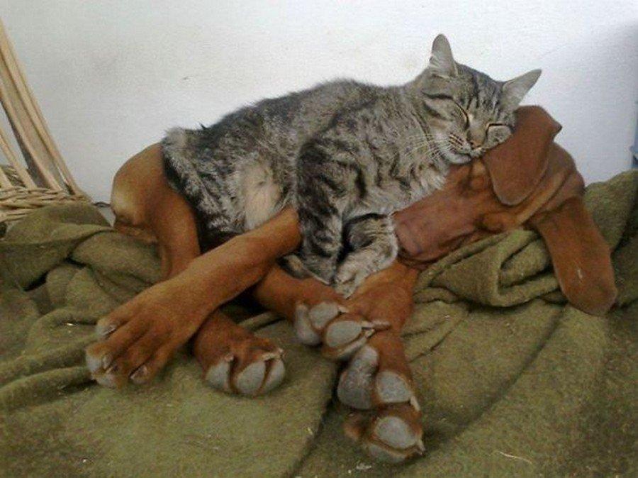 Собака спящая с котом.