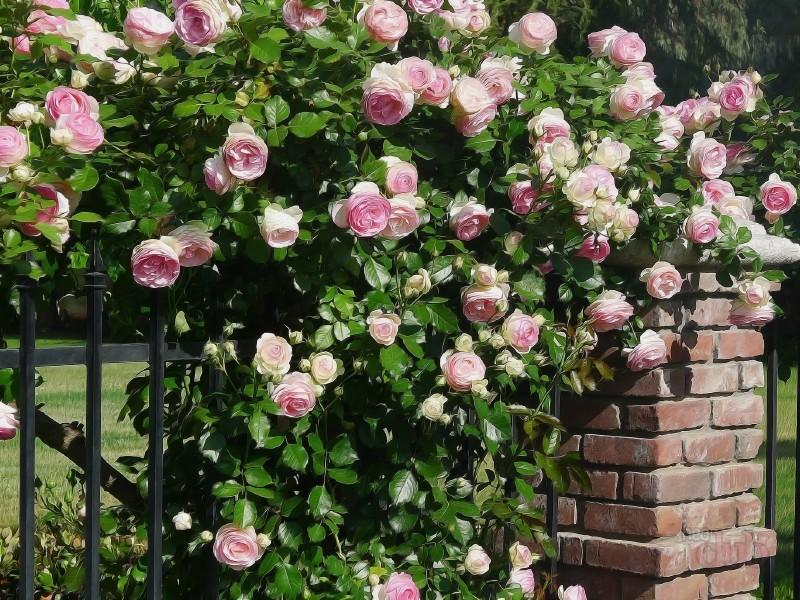 Картинки по запросу розы на кусте