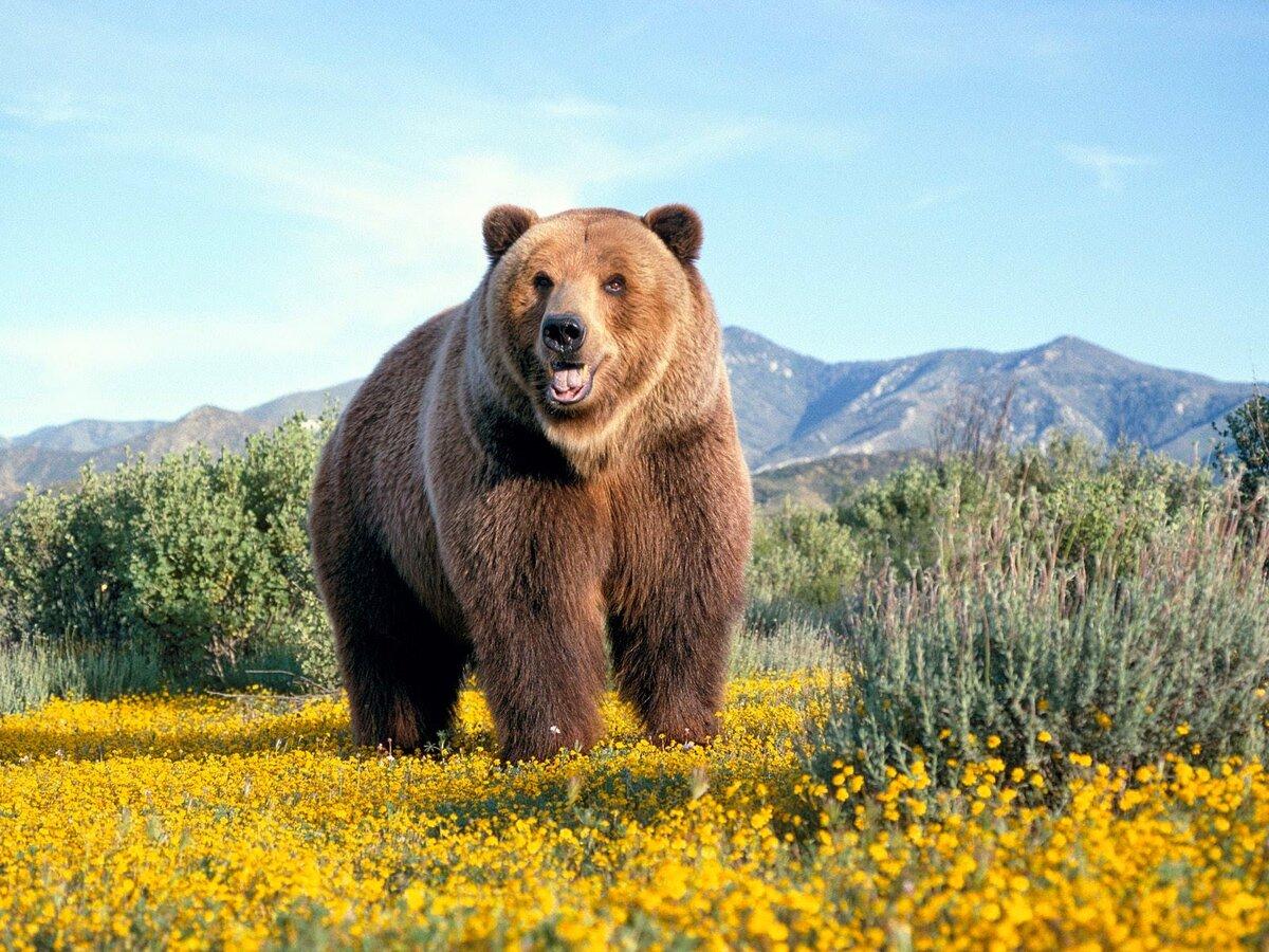 Для матери, медведь гризли прикольные картинки