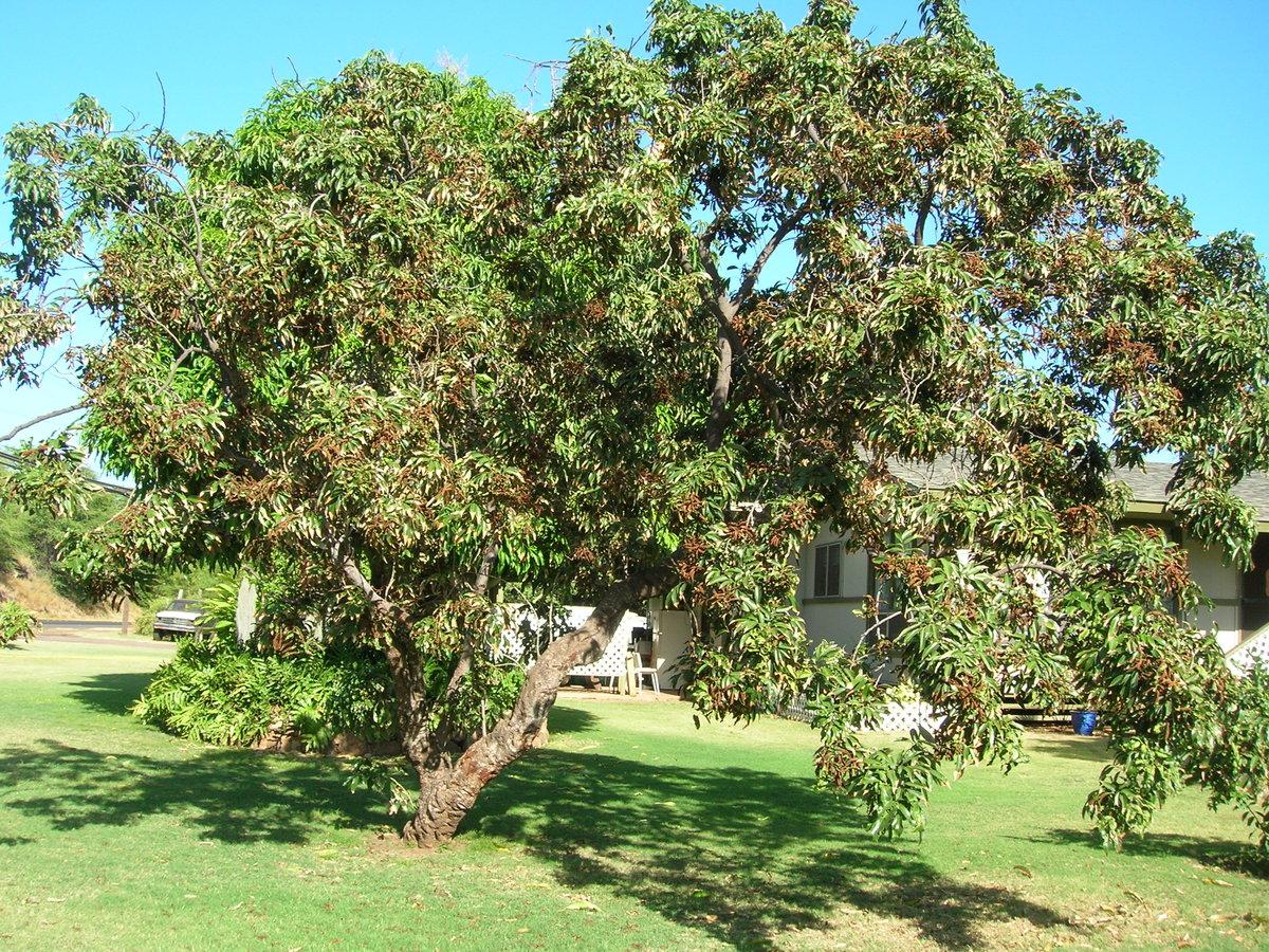 личи дерево картинки предки