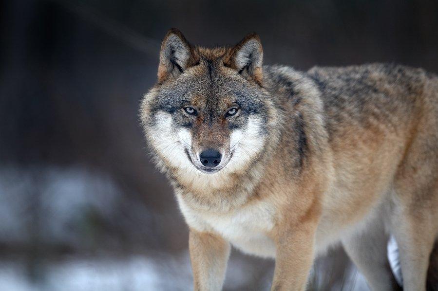 Утро, картинка с надписью серый волк