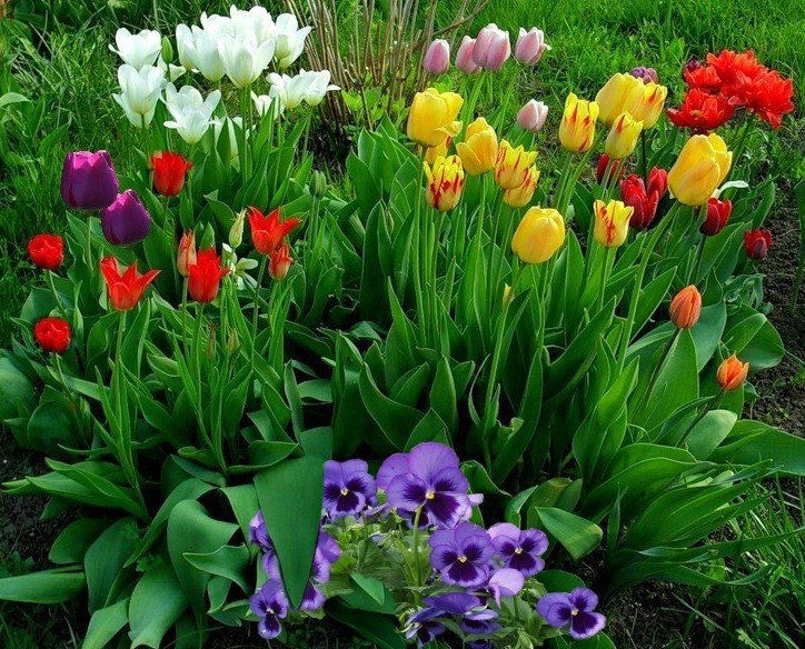 тюльпаны на клумбе с другими цветами фото морские звезды пляж