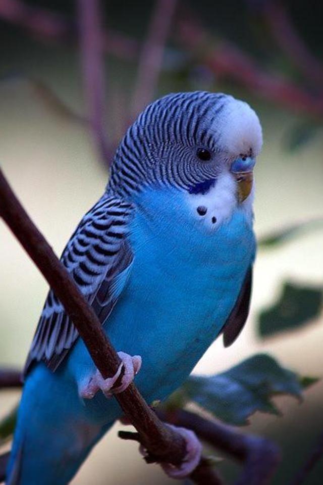 фото голубой волнистый попугай
