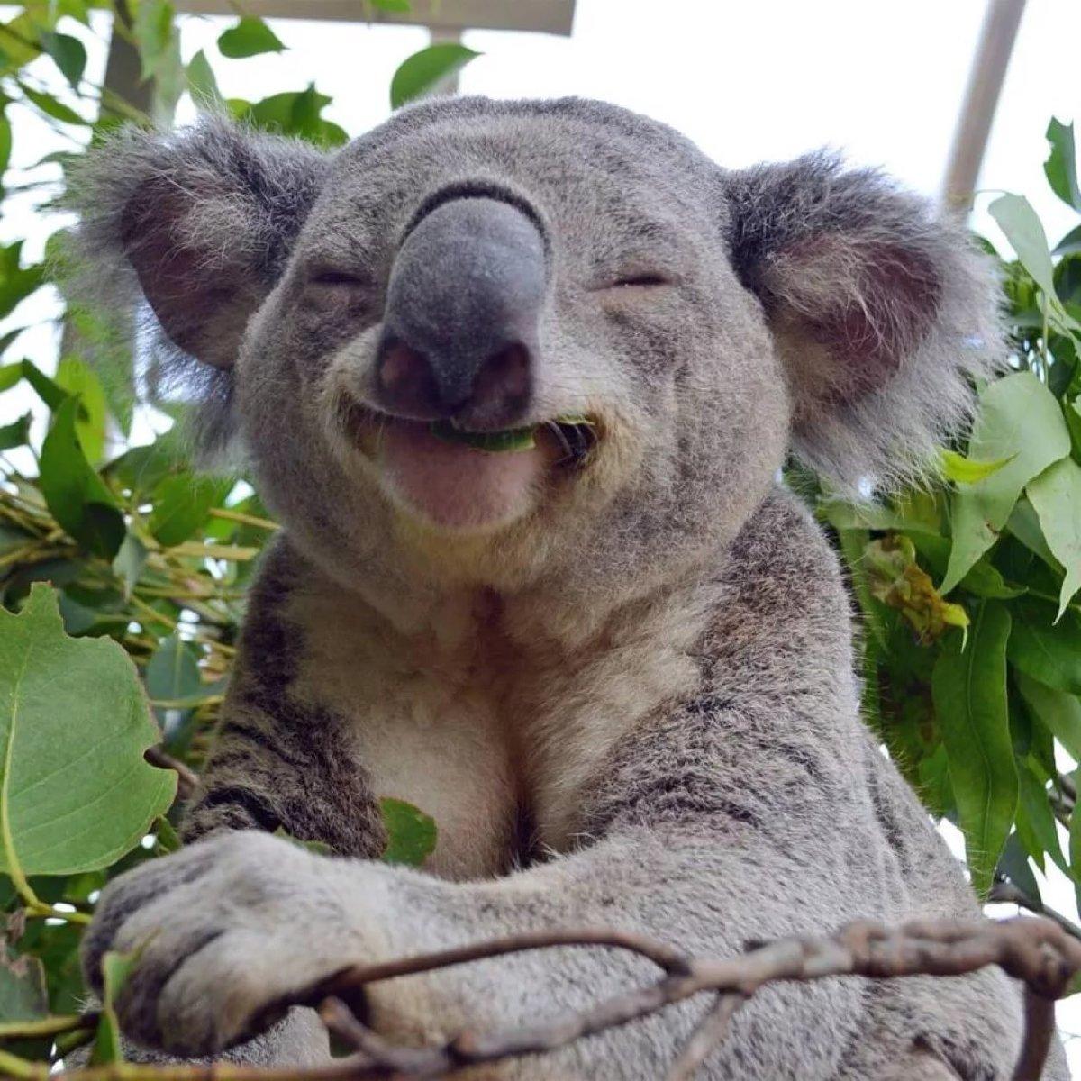 правильно смешные коалы фото этого можете