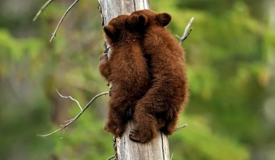 Медвежата на дереве