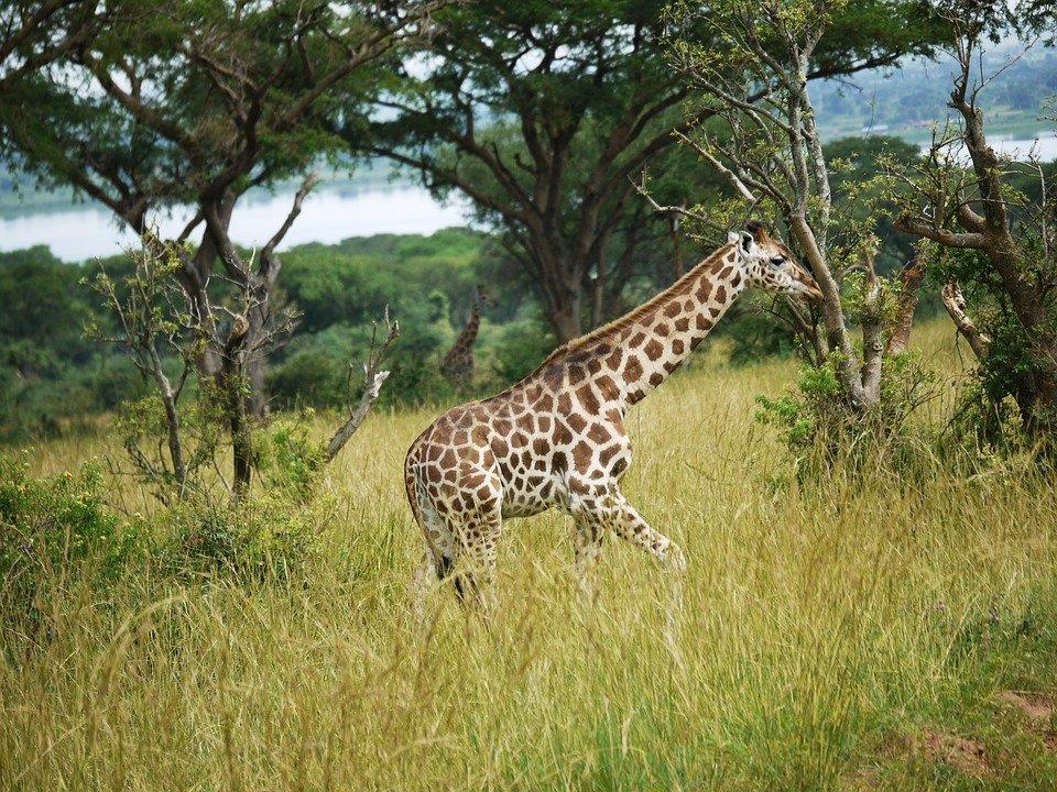 Рост жирафа достигает высоты до 6 метров. При этом вес жирафа составляет 1 тонну.