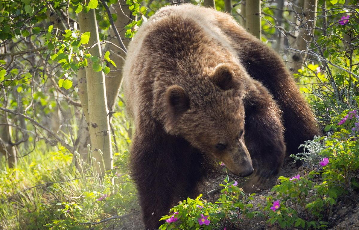 пакета рисунок бурый медведь в природе бестфиламент