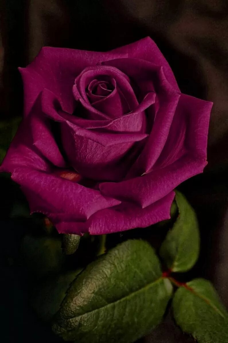 Анимированные картинки розы 320-240 в хорошем качестве