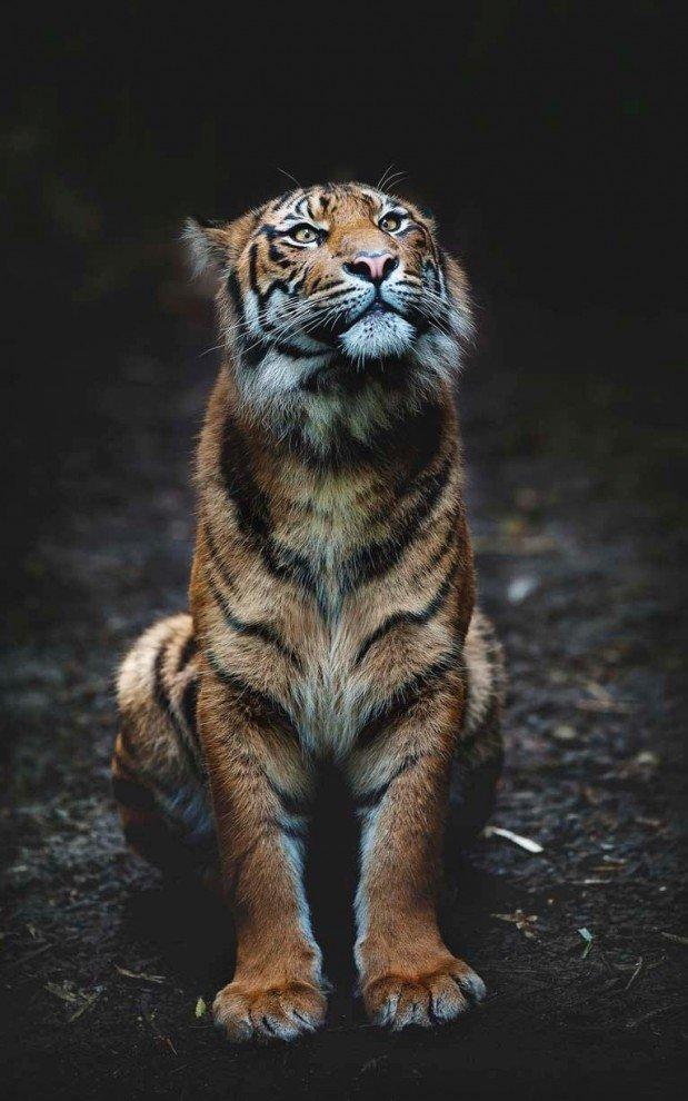 Суматранский тигр.