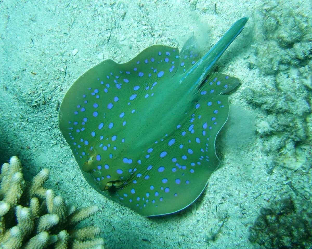 Морские скаты картинки