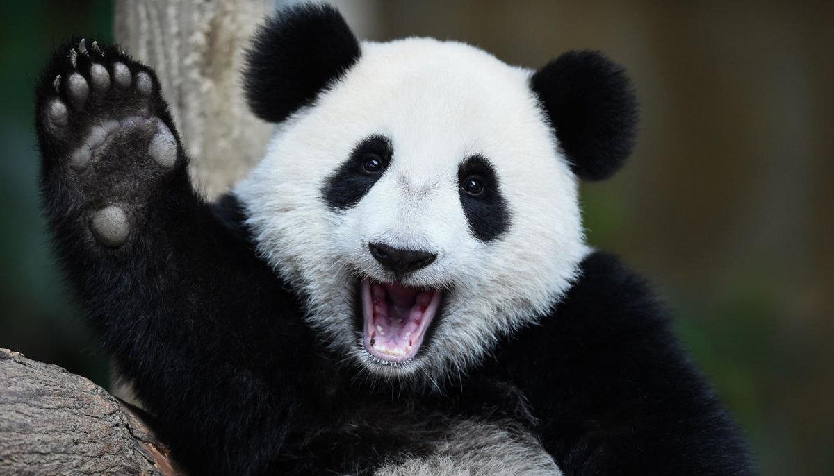 Новым годом, панда прикольная картинки