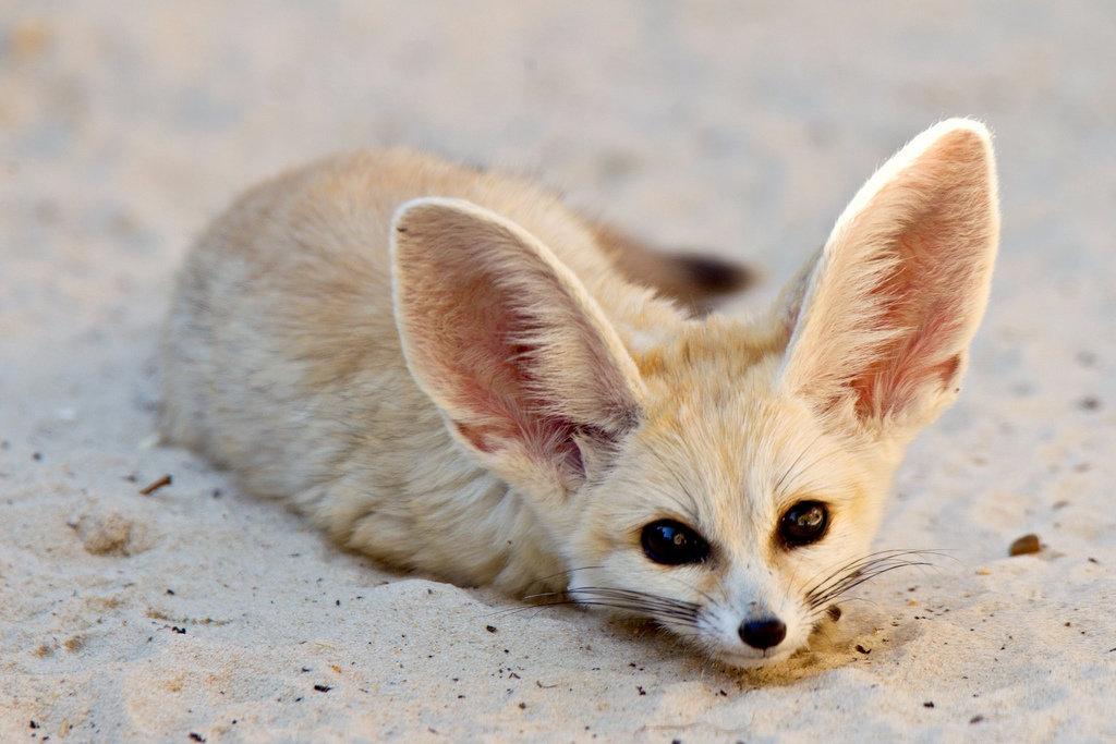 Милые картинки животных фенек