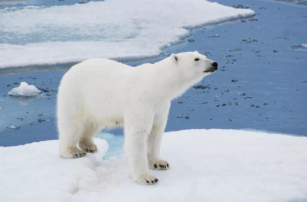 Цвет меÑа белого медведя