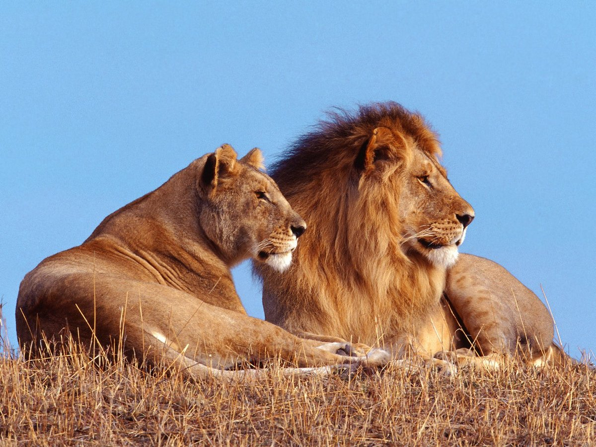 Львы и львицы картинки с надписями