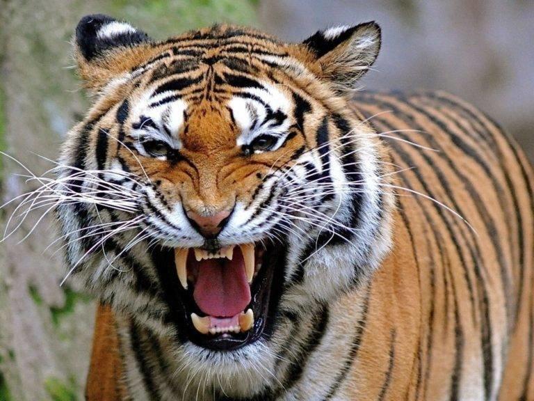 На передних лапах тигра находятся 5 пальцев, на задних лапах их всего 4, на каждом пальце расположены втяжные когти.