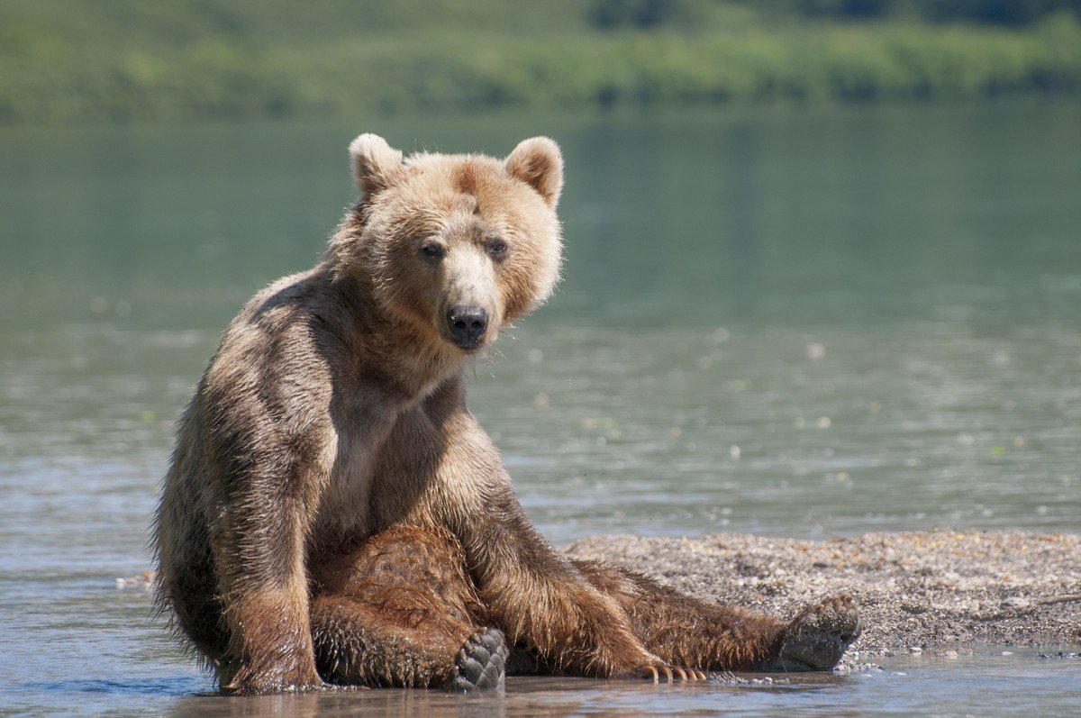 Картинки отдыхающий медведь