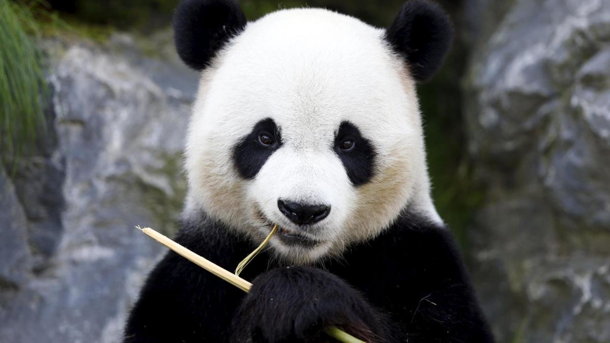 Панда улыбается картинки