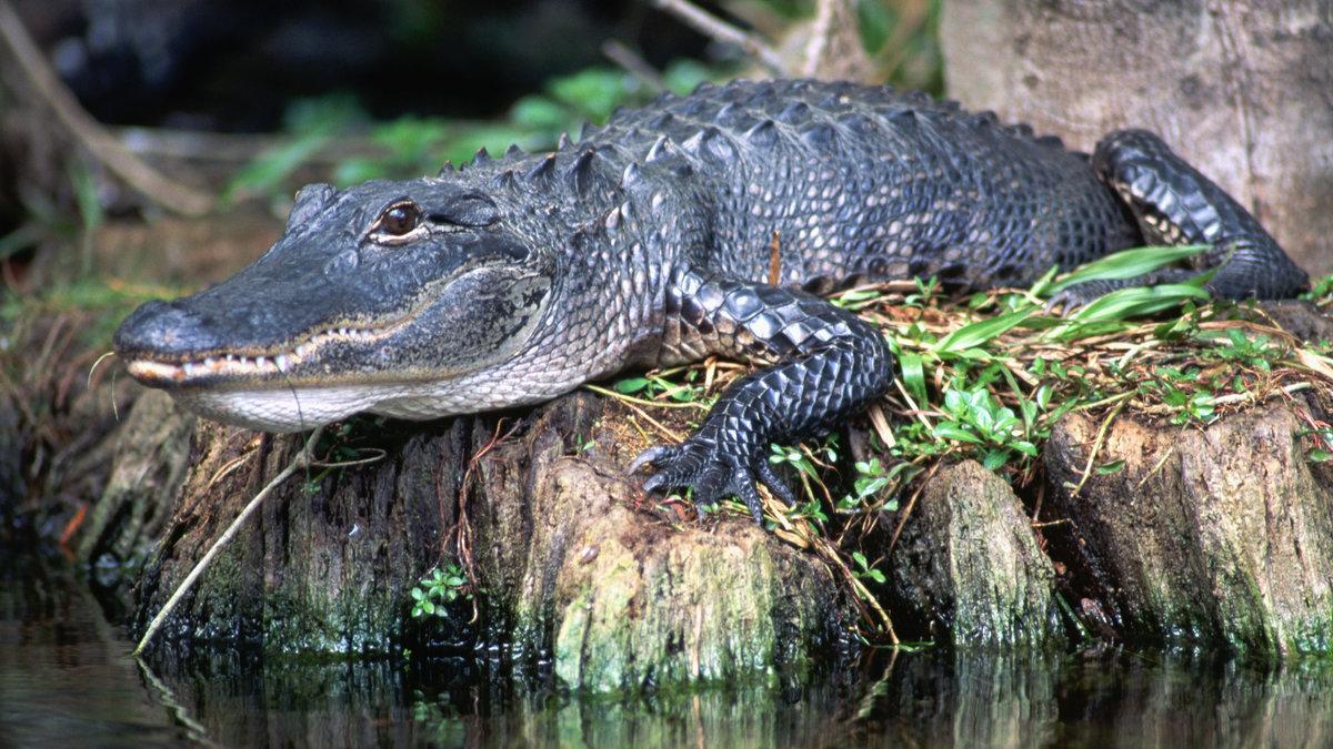 Крокодил картинки, поздравления