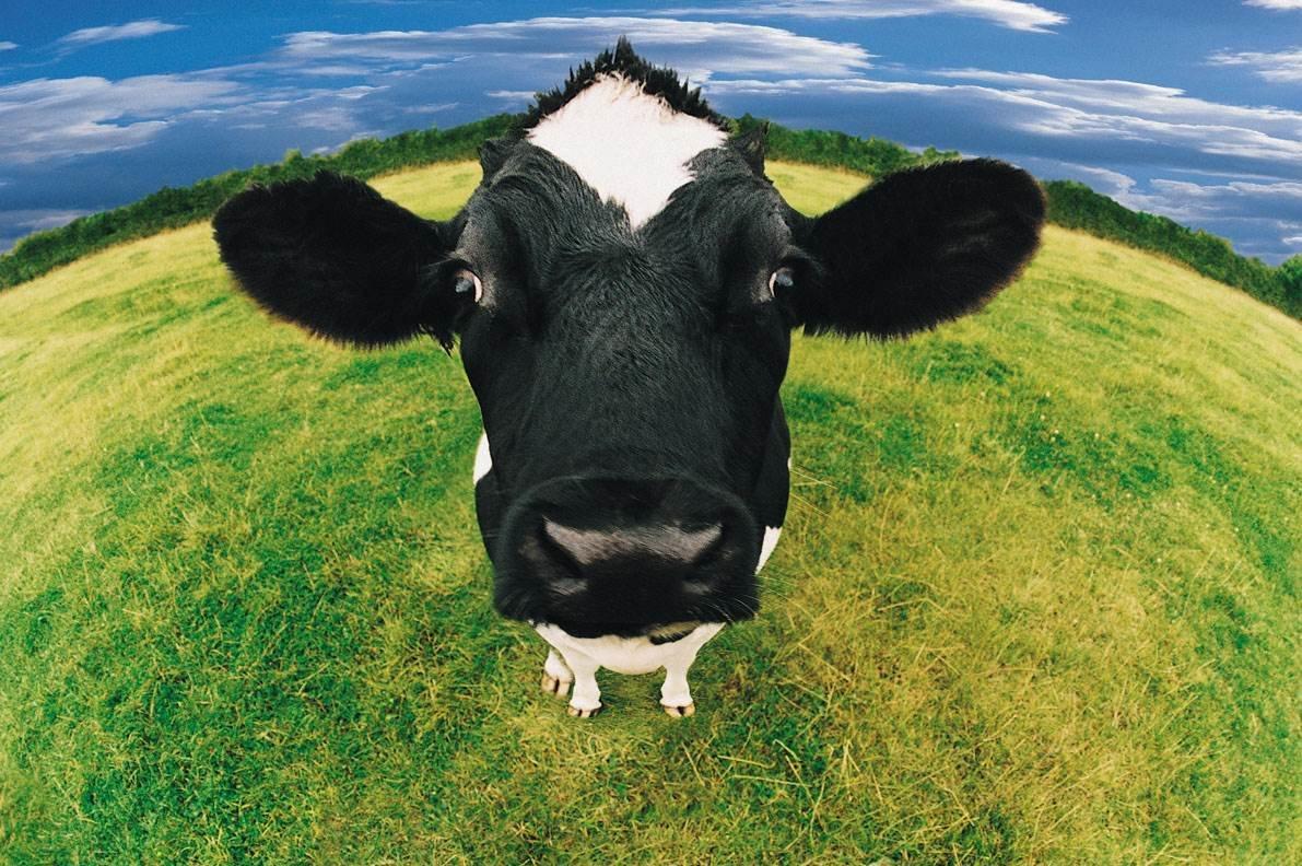 Два года, корова прикольная картинки