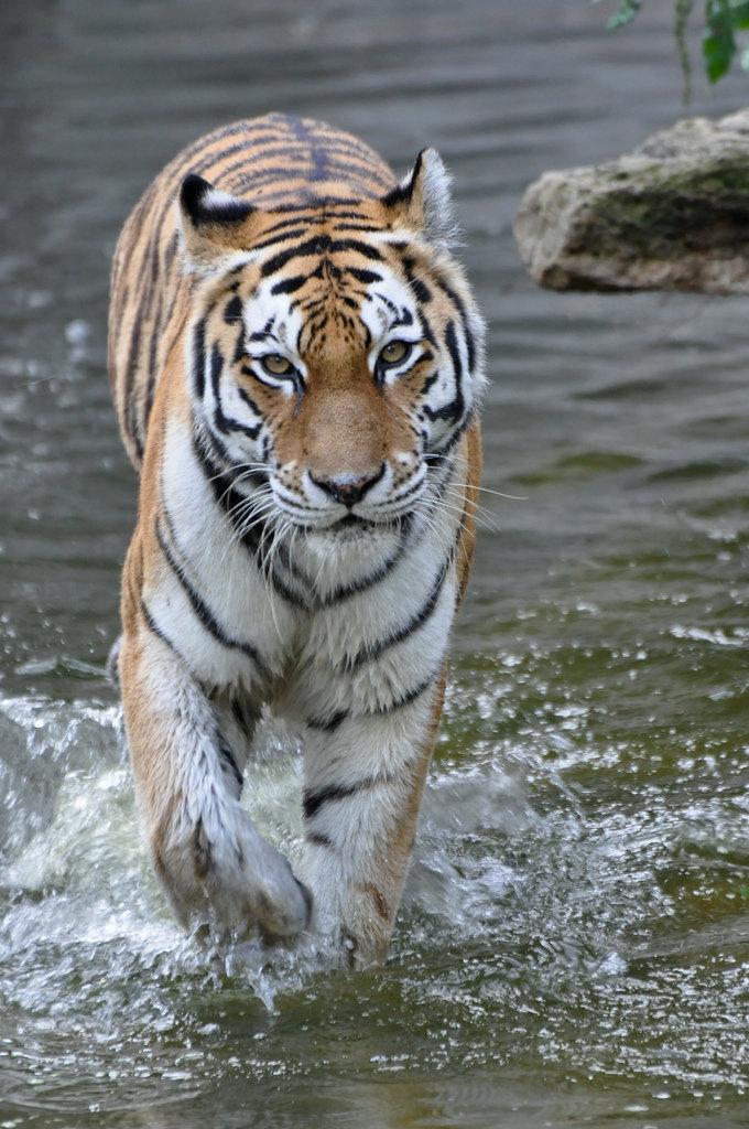 Амурский тигр традиционно считается крупнейшим ныне живущим представителем семейства кошачьиÑ. Однако, бенгальские тигры, обитающие в некоÑ'Ð¾Ñ€Ñ‹Ñ Ð½Ð°Ñ†Ð¸Ð¾Ð½Ð°Ð»ÑŒÐ½Ñ‹Ñ Ð¿Ð°Ñ€ÐºÐ°Ñ Ð˜Ð½Ð´Ð¸Ð¸, в настоящее время могут догонять по размерам амурскиÑ. Хотя, исторически эти два подвида тигров, вероятно, были очень различны по весу, а уменьшение размеров Ð°Ð¼ÑƒÑ€ÑÐºÐ¸Ñ Ñ'игров напрямую связано с деятельностью человека.