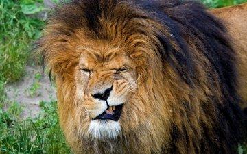 смешные фото лев